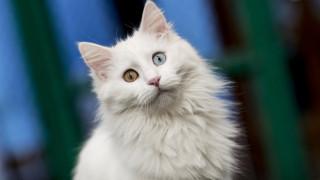 Αυτές είναι οι γάτες που έχουν εννέα ζωές και αγαπούν το... κολύμπι!
