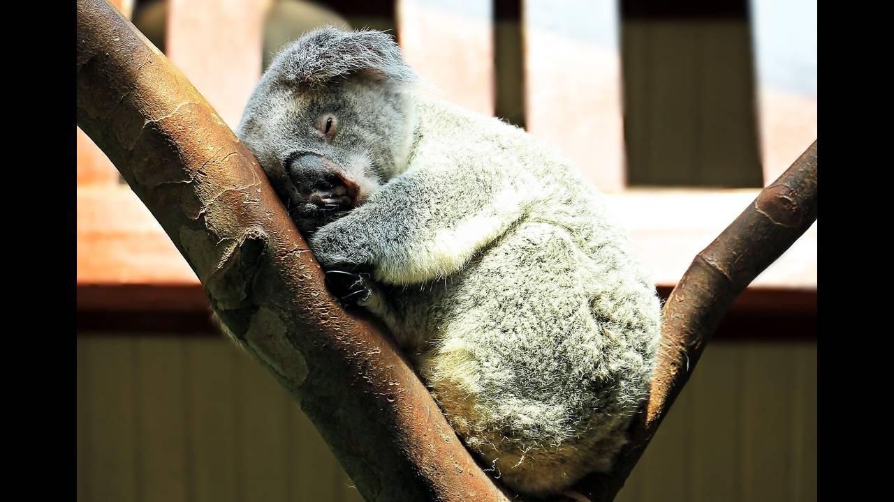 https://cdn.cnngreece.gr/media/news/2018/05/07/128939/photos/snapshot/koala-1651052_1920.jpg