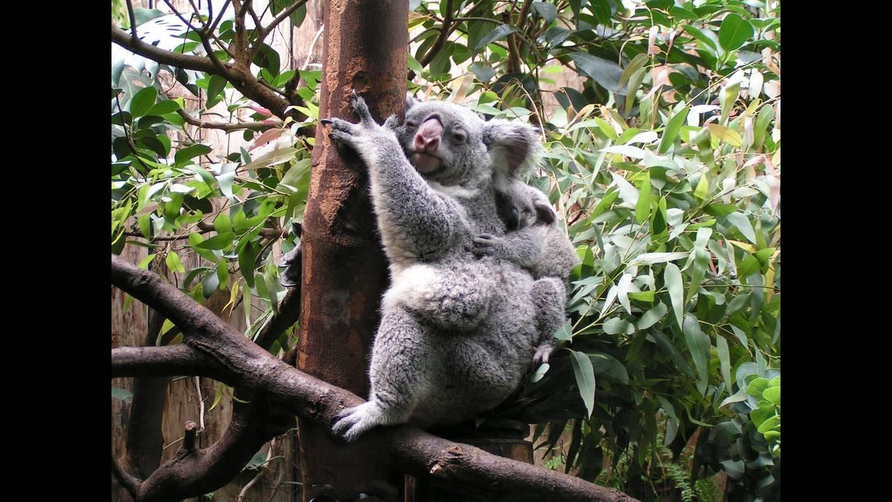 https://cdn.cnngreece.gr/media/news/2018/05/07/128939/photos/snapshot/koala-547543_1920.jpg
