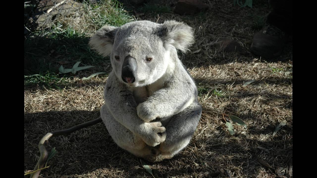 https://cdn.cnngreece.gr/media/news/2018/05/07/128939/photos/snapshot/koala-bear-542390_1920.jpg