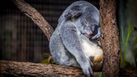 Πρόγραμμα της Αυστραλίας για τη διάσωση των κοάλα