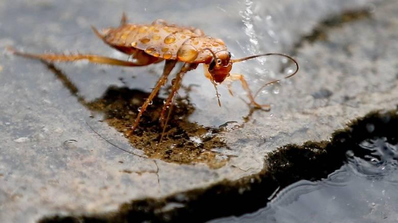 Μπήκε στο αυτί της κατσαρίδα και έμεινε για… εννέα μέρες