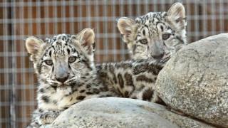 Αυξάνονται οι λεοπαρδάλεις του χιονιού στην Κίνα