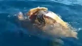 «Ακατάλληλες» σκηνές μεταξύ θαλάσσιων χελωνών στην Αργολίδα