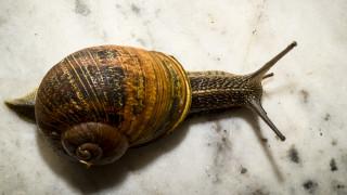 Η πρώτη «μεταμόσχευση» μνήμης σε σαλιγκάρια είναι γεγονός
