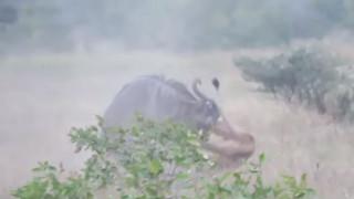Επική μάχη: Θαρραλέο γκνου τα… έβαλε με δύο λιοντάρια