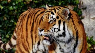 Μεξικό: Συνέλαβαν αρχηγό συμμορίας και την... τίγρη που φύλαγε το σπίτι του