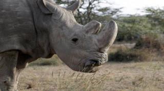 Ελπίδες για τον λευκό ρινόκερο του Βορρά: Τεχνητή γονιμοποίηση σε ένα από τα δύο τελευταία θηλυκά