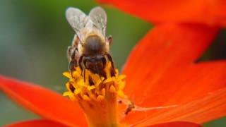 Γιατί η μέλισσα είναι ένα από τα πιο δημοφιλή «κατοικίδια» στη Γερμανία