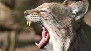 Αγριόγατες βγάζουν ανθρώπινα ουρλιαχτά: Το βίντεο που τρέλανε ειδικούς και διαδίκτυο