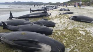 Ιαπωνία: Κυνηγοί σκότωσαν 120 έγκυες φάλαινες για «ερευνητικούς σκοπούς»