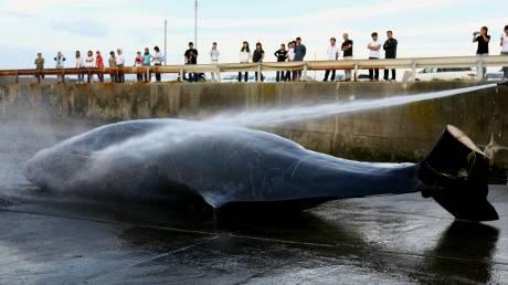122 έγκυες φάλαινες νεκρές: Άλλη μία σφαγή για λόγους «έρευνας»