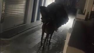 Σοκαριστικές εικόνες κακοποίησης: Εξαντλημένο γαϊδουράκι στη Σαντορίνη