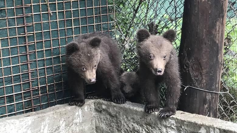 Τρία ορφανά αρκουδάκια στο καταφύγιο του Αρκτούρου