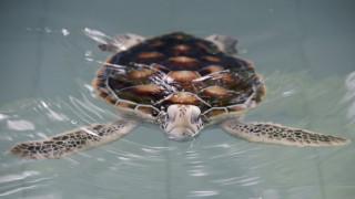 Ταϊλάνδη: Θύμα των πλαστικών μια χελώνα που ανήκει σε προστατευόμενο είδος