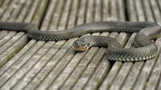 Φίδι 2,5 μέτρων σε κατοικημένη περιοχή της Πάτρας