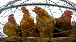 Εξαπλώνεται η γρίπη των πτηνών στο νότιο Βιετνάμ
