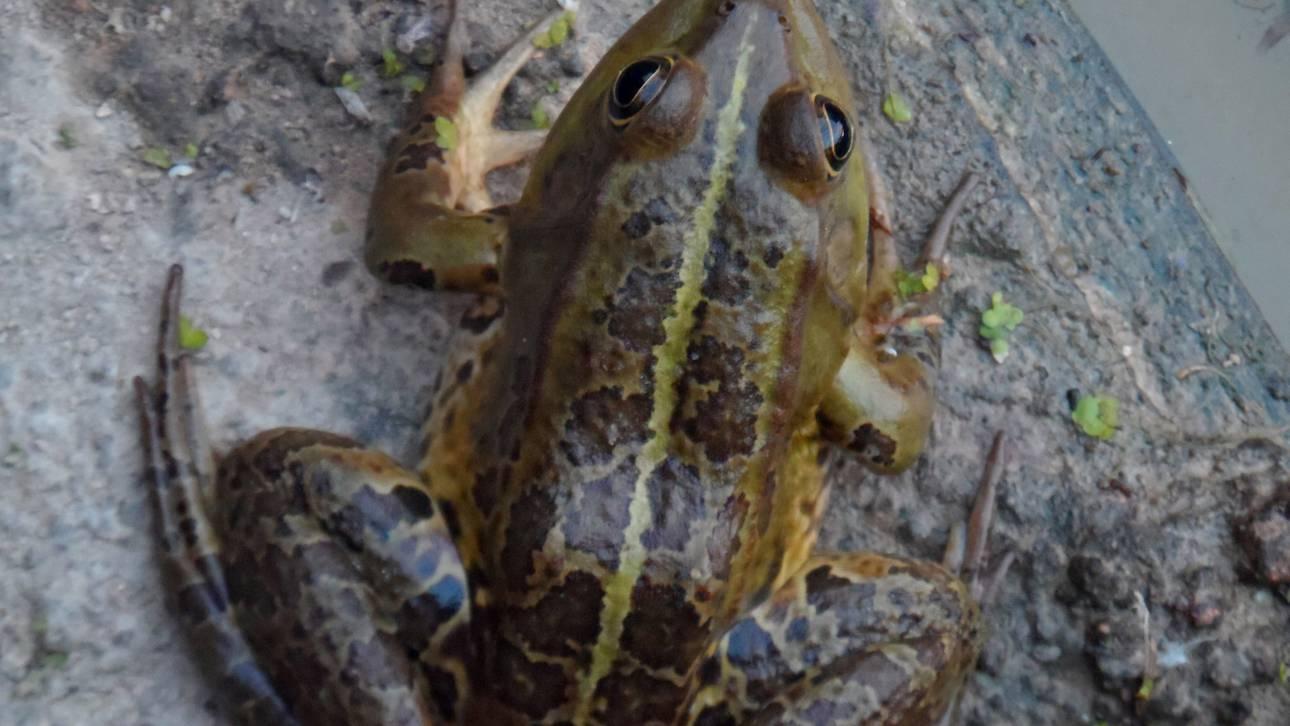 Ανακαλύφθηκαν τα αρχαιότερα βατραχάκια στον κόσμο ηλικίας 99 εκατομμυρίων ετών