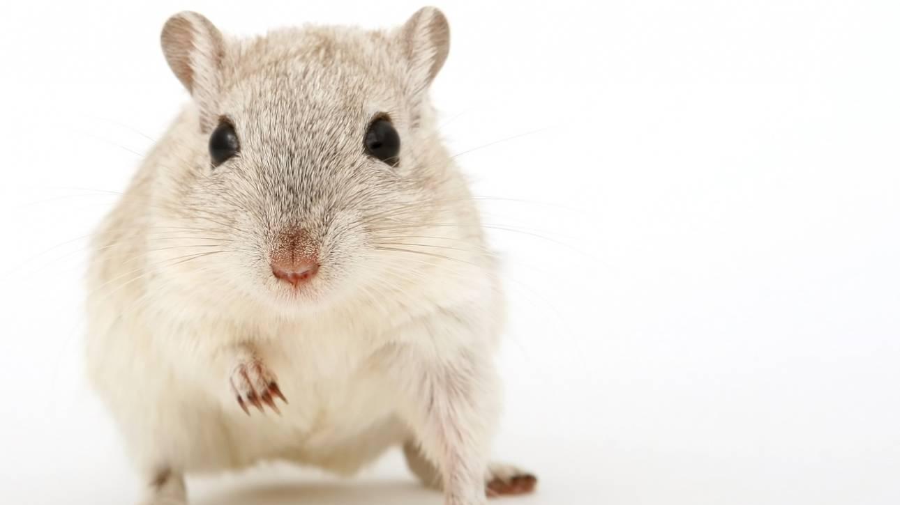 Επιστήμονες μετέτρεψαν αρσενικά ποντίκια σε θηλυκά «πειράζοντας» το DNA τους