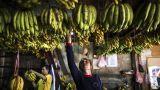 Η μπανάνα απειλείται ξανά: Πώς μια γενετικά τροποποιημένη ποικιλία θα σώσει το είδος