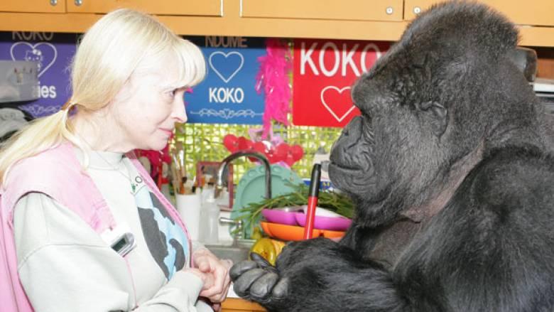 Πέθανε η Koko, ο γορίλας που επικοινωνούσε με νοηματική