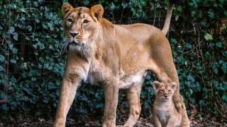 Βέλγιο: Λιοντάρι δραπέτευσε από το κλουβί του και θανατώθηκε