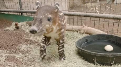 Ένα μωρό τάπιρος... τεστάρει την προβοσκίδα του