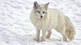 Επιχείρηση διάσωσης στους πάγους: Ζευγάρι σώζει μια παγιδευμένη αρκτική αλεπού