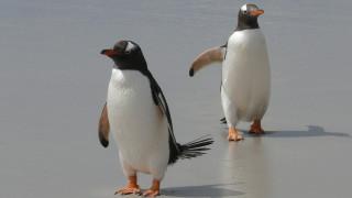 Η... ρομαντική βόλτα δύο πιγκουίνων στην παραλία που έγινε viral