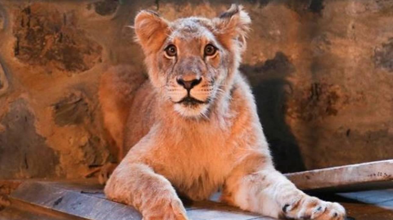 «Θύελλα» αντιδράσεων στην Κωνσταντινούπολη: Λιοντάρι «έκθεμα» σε καφετέρια