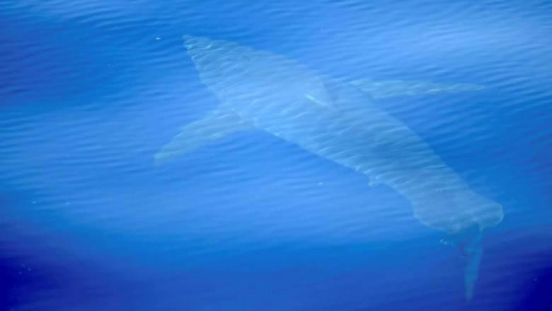 Χανιά: Καρχαρίας βγήκε σε παραλία