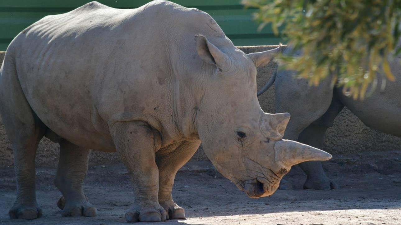 Κένυα: Πέθαναν οκτώ σπάνιοι ρινόκεροι κατά την μεταφορά τους σε πάρκο άγριας ζωής