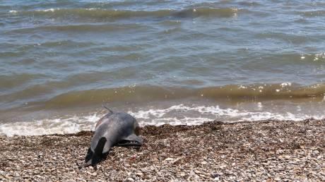 Νεκρό δελφίνι ξεβράστηκε σε παραλία της Νάξου