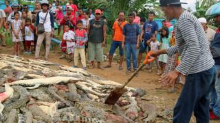 Ινδονησία: Εξαγριωμένο πλήθος σκότωσε 300 κροκόδειλους για να εκδικηθεί τον θάνατο 40χρονου