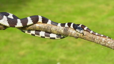 Bandy - bandy: Το νέο είδος δηλητηριώδους φιδιού που ανακαλύφθηκε στην Αυστραλία