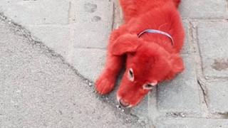 Υιοθετήθηκε το κουτάβι που είχαν βάψει με κόκκινη μπογιά