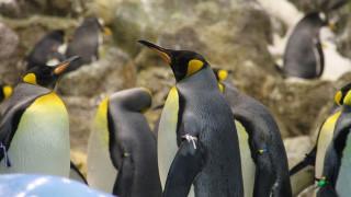 Δραματική μείωση στον πληθυσμό των βασιλικών πιγκουίνων