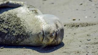 Φώκια κολύμπησε και… κοιμήθηκε σε παραλία της Σκόπελου