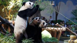 Το πάρτι γενεθλίων των μοναδικών γιγαντιαίων τρίδυμων panda