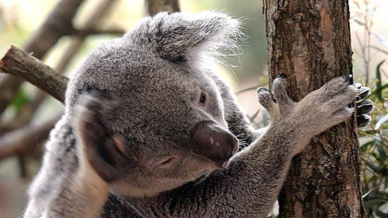 Στην Αυστραλία τα κοάλα πεθαίνουν από την πείνα