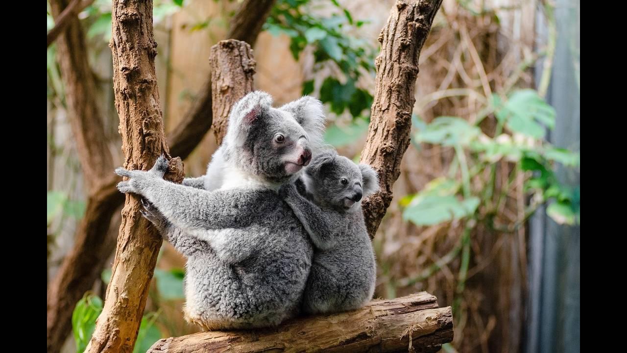 https://cdn.cnngreece.gr/media/news/2018/08/04/141394/photos/snapshot/koala-1259681_1280.jpg