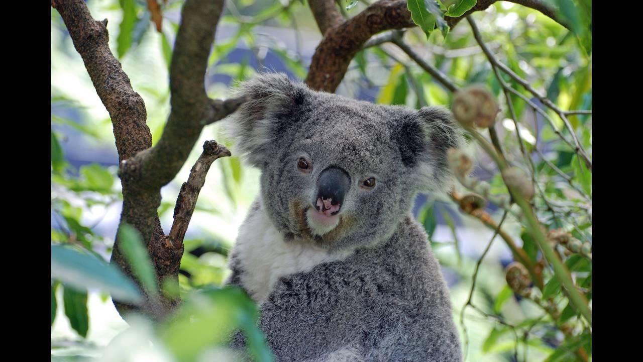 https://cdn.cnngreece.gr/media/news/2018/08/04/141394/photos/snapshot/koala-2363007_1920.jpg