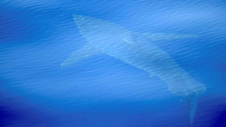 Καρχαρίας βγήκε στα ρηχά και προκάλεσε πανικό στη Μαγιόρκα