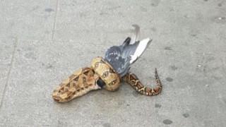 Φίδι τρώει περιστέρι σε δρόμο του Λονδίνου