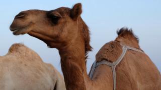 Τούρκος αγρότης πουλάει την καμήλα του για να εξαγοράσει την στρατιωτική θητεία