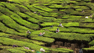 Ινδία: Εκατοντάδες χιλιάδες εργάτες στις φυτείες τσαγιού απεργούν για αύξηση 40 σεντς
