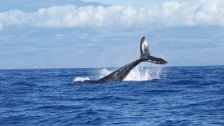Φάλαινα όρκα δεν αποχωρίζεται το νεκρό μωρό της και κολυμπά μαζί του στον ωκεανό