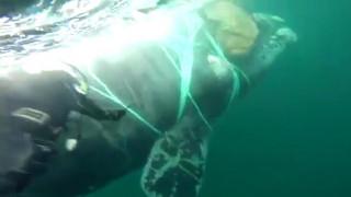 Χιλή: Έσωσαν φάλαινα παγιδευμένη σε δίχτυα