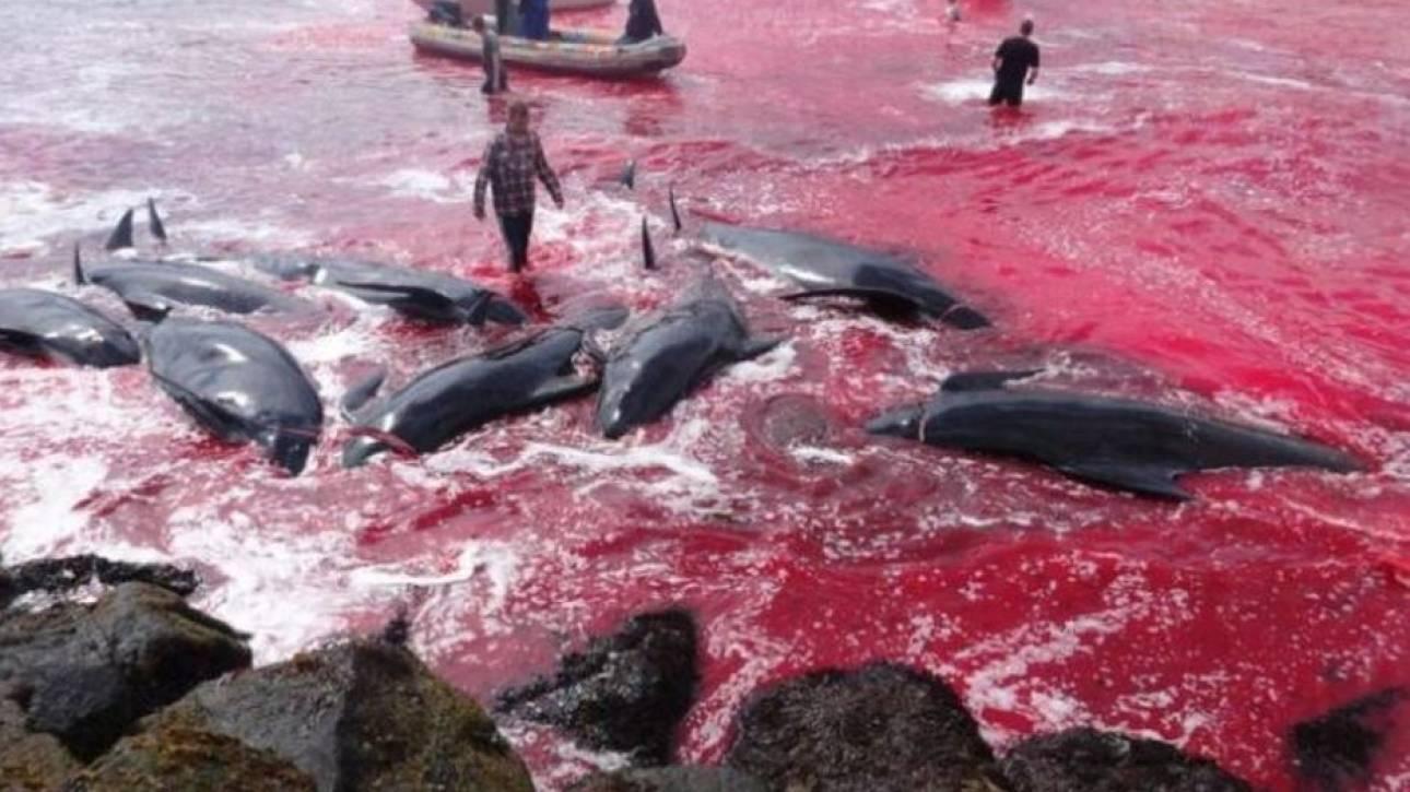 Η θάλασσα βάφτηκε κόκκινη: Σκληρές εικόνες από τη μαζική σφαγή δεκάδων φαλαινών στα νησιά Φερόε