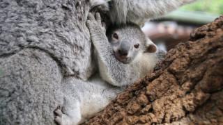 Κίνα: Μωρό κοάλα κάνει την πρώτη του δημόσια εμφάνιση σε ζωολογικό κήπο